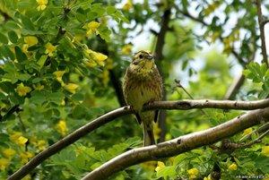 Птица овсянка обыкновенная