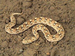 Песчаная змея эфа описание