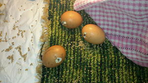 Нарушение режима содержания кур как распространенная причина расклева курами яиц