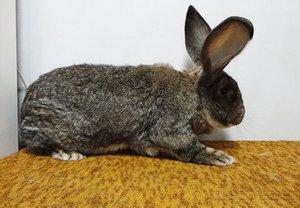 Как разводить кроликов ризен