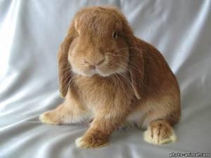Кролик вислоухий баран: характеристика породы