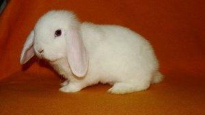 Кролик карликовый вислоухий баран