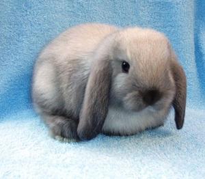 Условия содержания карликового вислоухого кролика