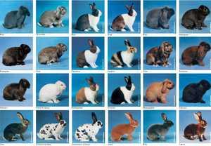 Какие существуют породы кроликов