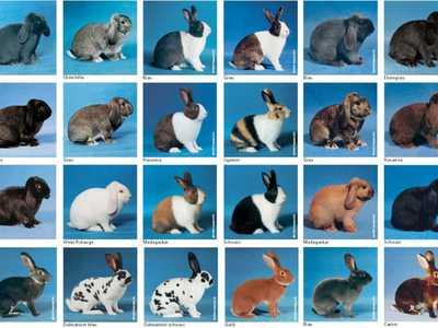 Породы кроликов, с фотографиями и названиями