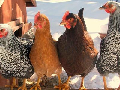 Породы кур: лучшие несушки для подворья