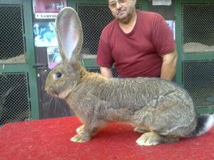 Огромные кролики