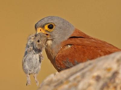 Повадки сокола. Ареал обитания обыкновенной пустельги