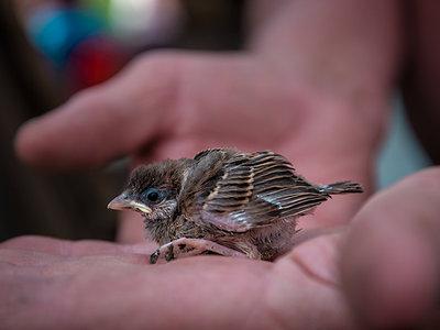 Птенец воробья чем кормить и как ухаживать