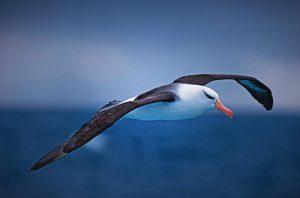 Альбатрос-описание