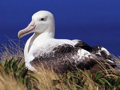 Птица альбатрос. Кто такие странствующие альбатросы?