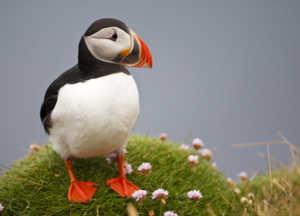 Тупик - морская птица арктических широт