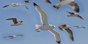 Главные враги тупиков - чайки, они поедают их яйца, птенцов,а иногда и взрослых особей