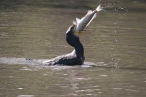 Рыба - основа питания бакланов