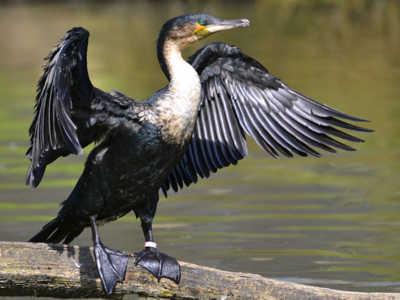 Птица баклан большой: ареал обитания, размножение
