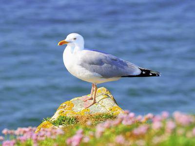 Птица чайка: что едят чайки, где зимуют
