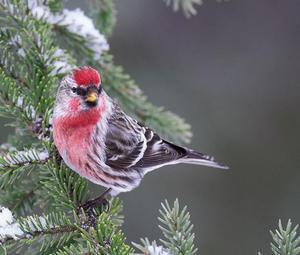 Птичка с красной грудкой