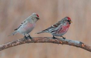 Птицы чечётки