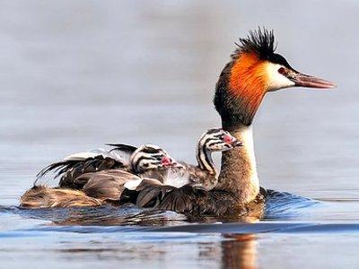 Птица чомга или большая поганка: описание, образ жизни