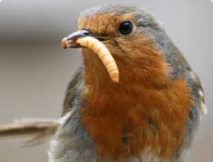 Певчая птица зарянка
