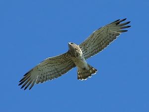 Как выглядит орел