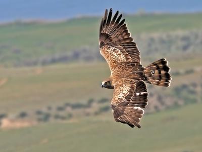 Птица орёл: как выглядит и чем питается