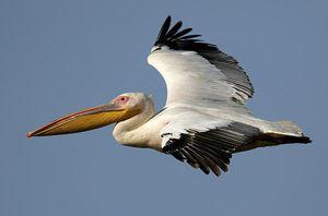 Жизнь пеликанов