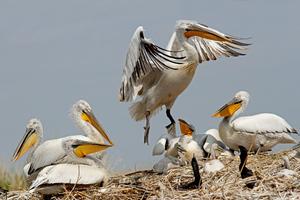 Пеликан в гнезде