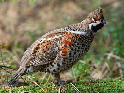 Птица рябчик обыкновенный скромный житель лесного бора