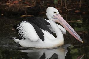 Австралийский пеликан - образ жизни