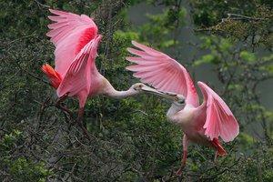 Колпица розовая - красивая и необычная птица