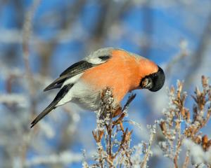 Печая птица