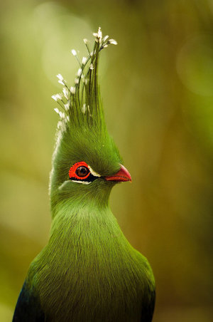 Особенности птиц бананоедов