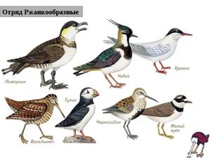Птицы отряда Ржанкообразные