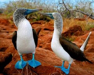 Отряд Пеликанообразные