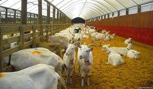 Чем кормить коз в домашних условиях