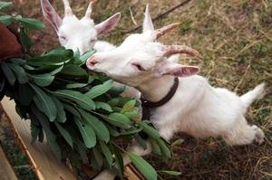 Как ухаживать за козами