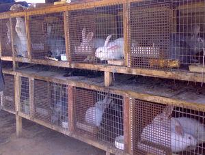 Разведение кроликов в домашних условиях