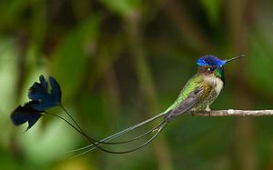 Редкие птицы-дивный шпательтэил