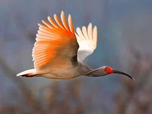 Редкие птицы- японский ибис