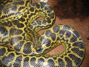 Описание огромных змей