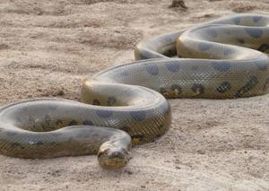 Самые большие змеи питоны