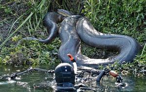 Как питается самая большая змея