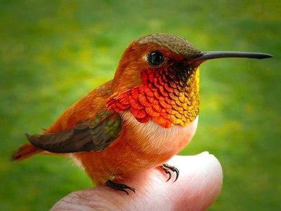Самая маленькая птичка в мире. Описание птицы колибри