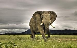 Слон – одно из самых крупных и сильных животных