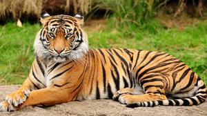 Амурский тигр – особенности