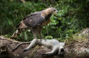 Венценосный орел – интересные факты