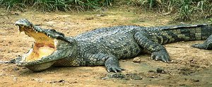 На каком месте по силе крокодил
