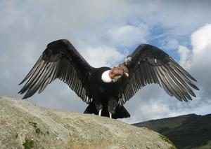 Описание самой большой летающей птицы андского кондора