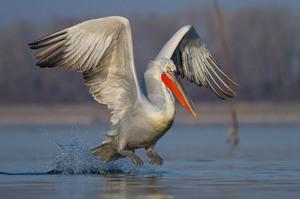Описание птиц кудрявых пеликанов